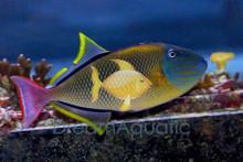 Crosshatch Trigger Fish - MALE - Xanthichthys mento - Mento Triggerfish - Blue Cheekline Triggerfish - Pinecone Trigger