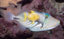 HumaHuma Picasso Trigger Fish - Rhinecanthus aculeatus - Huma Picasso - Lagoon Blackbar Triggerfish