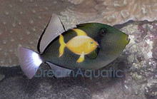 Pinktail Trigger Fish - Melichthys vidua - Pink Tail Trigger - Hawaii Triggerfish