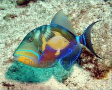 Queen Trigger - Balista vetula - Queen Triggerfish