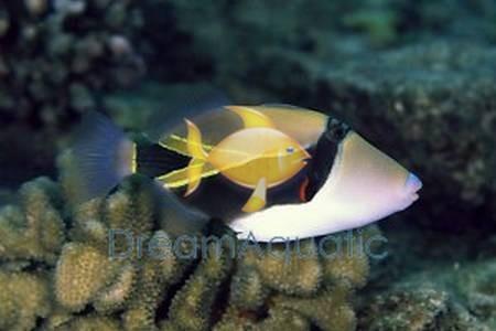 rectangular trigger fish rhinecanthus rectangulus rectangle