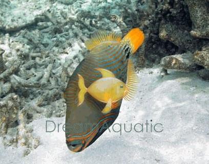 undulate trigger fish balistapus undulatus orangelined