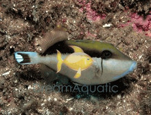 White Tip Trigger Fish - Sufflamen chrysopterus - White Tail - Halfmoon Triggerfish - Whitetip Triggerfish
