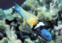 Bluehead Wrasse - Thalassoma bifasciatum - Blue head Wrasse