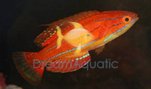 Carpenter's Flasher Wrasse - Paracheilinus carpenteri - Carpenter's Flasher Wrasse - Redfin Flasher Wrasse