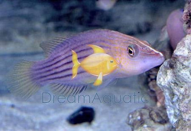 Eight Line Wrasse - Pseudocheilinus octotaenia - Eight-Line Hawaii Wrasse - Eightline Flasher Wrasse - Red Sea Flasher Wrasse