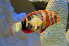 Harlequin Tusk Wrasse - Lienardella fasciata - Tusk Harlequinalia - Tuskfish