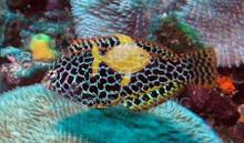 Leopard Wrasse - Macropharyngodon meleagris - Leopard Wrasse