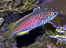 Lineatus Fairy Wrasse - Cirrhilabrus lineatus - Lined Fairy Wrasse