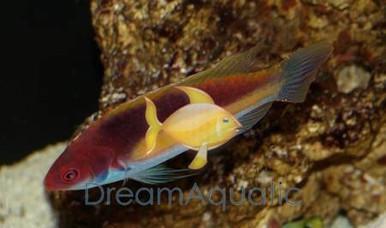 Purple Velvet Wrasse Female - Cirrhilabrus luteovittatus - Yellow Streaked Fairy Wrasse - Marshall Island Fairy Wrasse