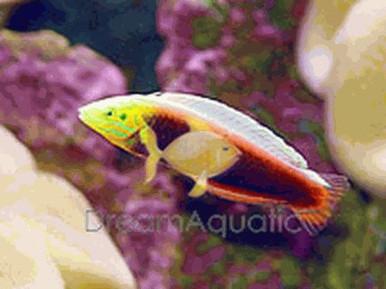 Radiant Wrasse - Halichoeres iridis - Radiant Wrasse