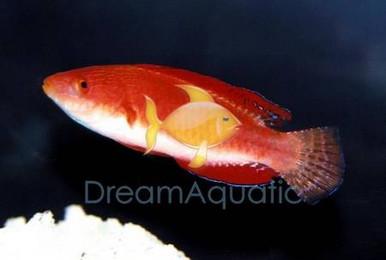 Red Parrot Fairy Wrasse - Cirrhilabrus rubripinnis - Ruby Head Parrot Wrasse - Redfin Fairy Wrasse