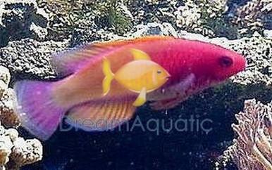 Red Velvet Wrasse - Cirrhilabrus rubrisquamis - Rosy-scales Fairy Wrasse