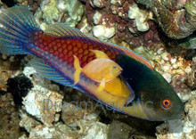 Scott's Multicolor Wrasse - Cirrhilabrus scottorum - Scott's Fairy Wrasse