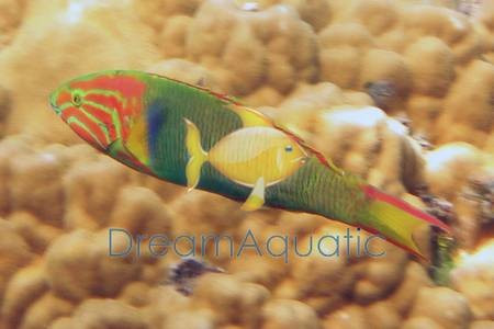 Details about  /Yellow-brown wrasse Thalassoma lutescens 137 mm Fish Taxidermy Oddities