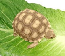 Baby Sulcata Tortoises - Temp Sexed Pair