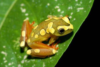 Argus Reed Frog - Hyperolius argus