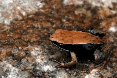 Betsileo Mantella Frog - Mantella betsileo