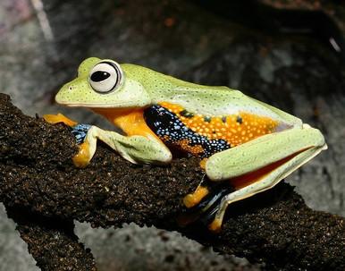 Green Gliding Tree Frog  - Rhacophorus reinwardtii