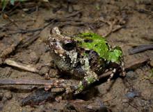 Marbled Hopper Frog - Scaphiophryne marmorata - Green Marbled Hopper
