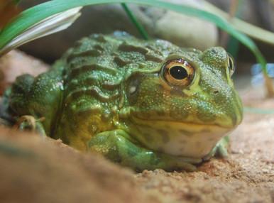 Pixie Frog - Pyxicephalus adsperus