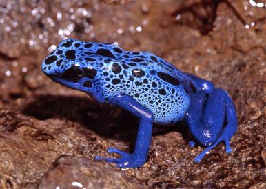 Poison Azureus Frog - Dendrobates azureus