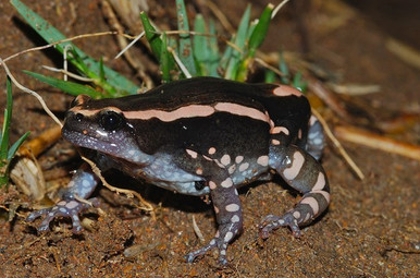 Red Black Walking Frog - Phrynomantis bifasciatus
