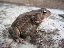 Southern Toad - Anaxyrus terrestris