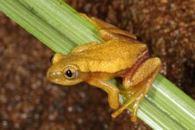 Tinker Reed Frog - Hyperolius tuberilinguis