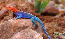 Red Head Agama - Agama agama - Rainbow Lizard - Rainbow Agama