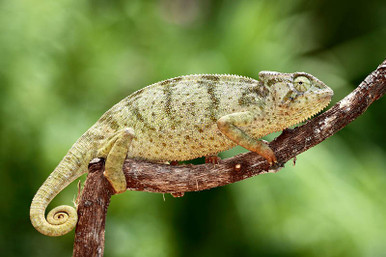 Graceful Chameleons - Chamaeleo gracilis
