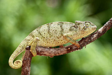 Graceful Chameleons - Chamaeleo gracilis