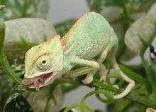 Veiled Chameleons - Chamaeleo calyptratus - Cone-head Chameleon - Yemen Chameleon