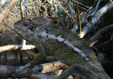 Vercossus Chameleons - Furcifer verrucosus - Warty Chameleon