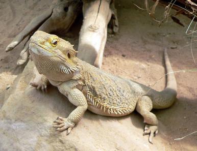 "Bearded 6 to 7"" Dragon - Pogona vitticeps"