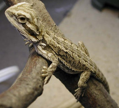Bearded Babies Dragon - Pogona vitticeps
