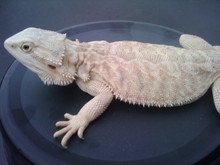 Bearded Hypo Babies Dragon - Pogona vitticeps - Hypo Phase Bearded Dragons
