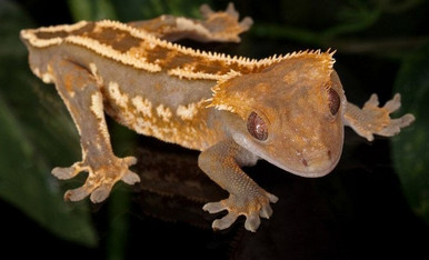 Crested Gecko - Rhacodactylus ciliatus - Eyelash Gecko