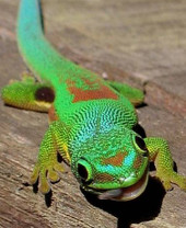Day Lined Gecko - Phelsuma lineata - Striped Phelsuma