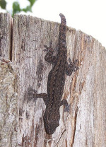 House Gecko - Hemidactylus frenatus - Common House Gecko - Asian House Gecko