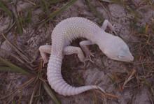 Leopard Blizzard Babies Gecko - Eublepharis macularius