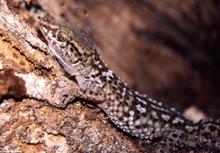 Mocquard's Madagascar Ground Gecko - Paroedura bastardi - Bastard Gecko - Madagascar Spiny Gecko