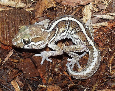 Madagascar Pictus Gecko - Paroedura pictus - Madagascar Ground Gecko - Ocelot Gecko - Malagasy Fat Tailed Gecko - Panther Gecko
