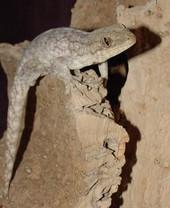 Wahlberg's Velvet Gecko - Homopholis walbergii