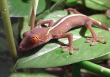 White Line Gecko - Gekko vittatus - Sago Gecko - Skunk Geckos
