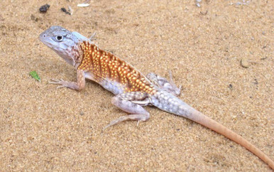 Madagascar Collard Iguana - Chalarodon madagascariensis - Three Eyed Iguana