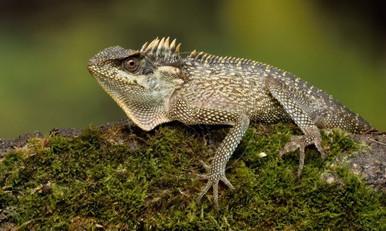 Mountain Horned Lizard - Acanthosaura capra