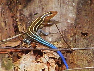 Blue Tail Skink Lizard - Cryptoblepharus egeriae