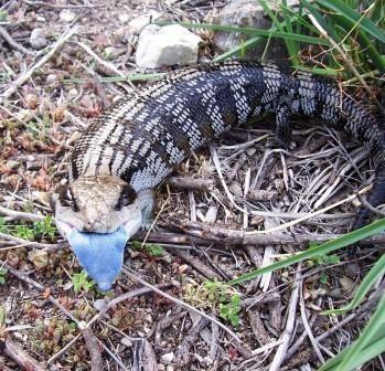 Blue Tongue Skink Lizard - Tiliqua scincoides