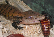 Madagascar Water Skink Lizard - Madascincus melanopleura - Common Madagascar Skink